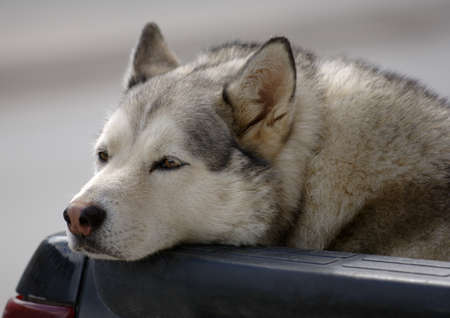 A close-up of a Siberian Husky Stock Photo - 7551786