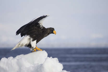 Steller's sea eagle standing on pile of snow Stock Photo - 7551521