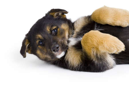 Shepherd Cross Puppy Stock Photo - 7551566