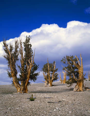 bristlecone: Grove of bristlecone pine trees, worlds longest-lived species, Inyo National Forest