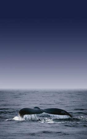 Whales Fluke Stock Photo