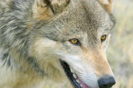 Timber wolf Stok Fotoğraf