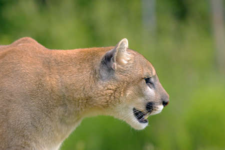 species: Cougar profile