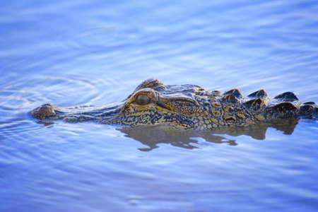 Crocodiles eye peering above water