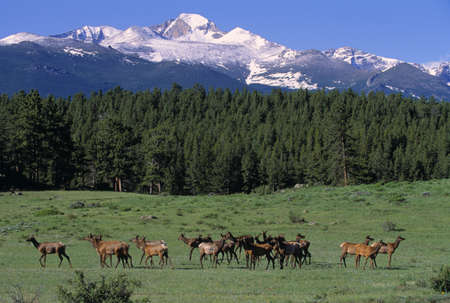 Elk herd in mountain meadow