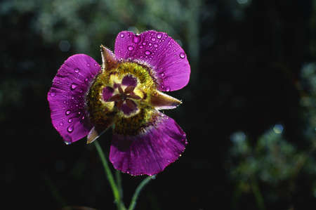 Lirio de mariposa de Gunnison  Foto de archivo - 7551753