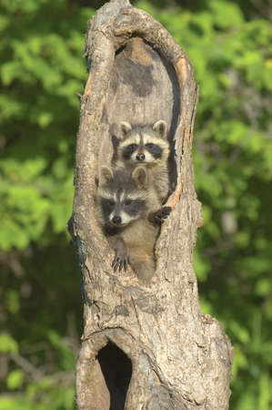 Baby racoons in hollow tree