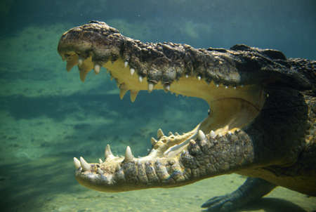 Crocodile's open mouth Stock Photo - 7551882