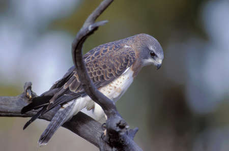 Swainson's hawk on a branch Stock Photo - 7551476