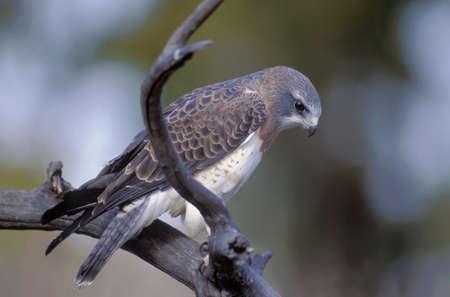 Swainsons hawk on a branch