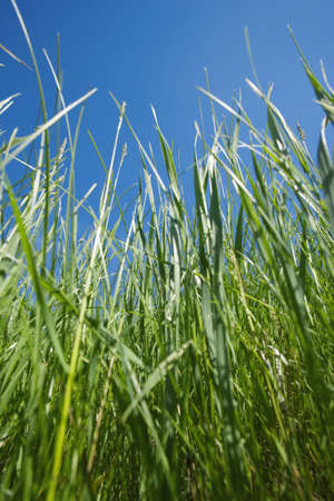 grasses: Wheat grass