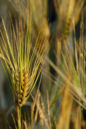 Close up of wheat ready to harvest Stock Photo - 7551676