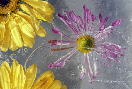 Flower blossoms under ice