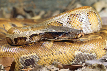 Blood python Stock Photo - 7559195
