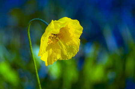 Yellow poppy Stock Photo - 7551683