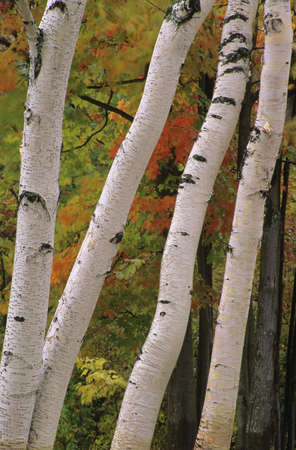 Birch Tree trunks in fall  版權商用圖片