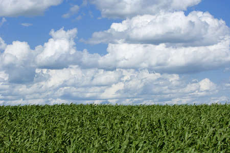 Cornfield Stock Photo - 7551644