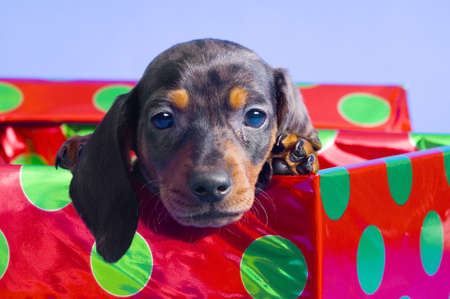 Dachshund puppy in gift box