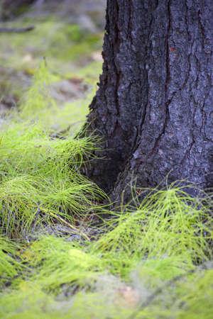 White pine seedlings Stock Photo