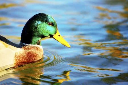 mallards: Duck in the water