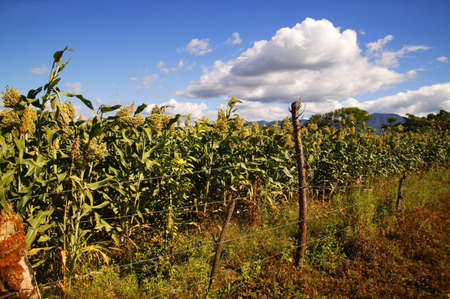corn stalk: Farmers field LANG_EVOIMAGES