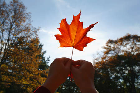 Person holding a maple leaf Stock Photo - 7559321