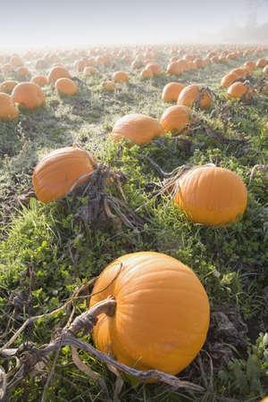 Pumpkin patch Stock Photo - 7559444