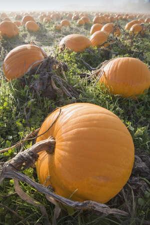 pumpkin patch: Pumpkin patch
