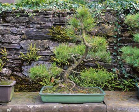 Bonsai Scots Pine, Berkeley Forest, Co Wexford, Ireland Stock Photo - 7559560