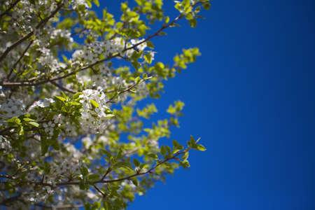 Cherry tree branches Stock Photo - 7559341