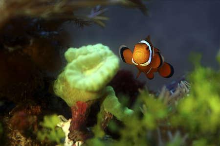 wildanimal: Clownfish