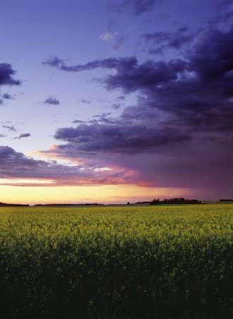 Sunset over canola field Stock Photo - 7559453