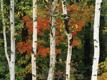 American White Birch tree trunks in New Hampshire, USA Stock Photo - 7559513
