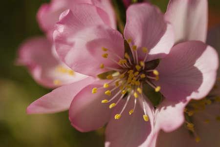 Closeup detail of an almond flower Stock Photo