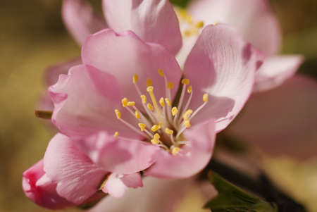 almond tree: Closeup view of an almond flower LANG_EVOIMAGES