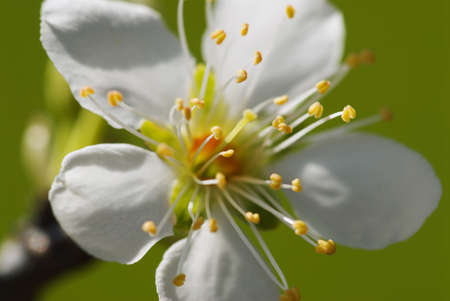 Closeup of a nectarine flower blooming Stock Photo - 7559267