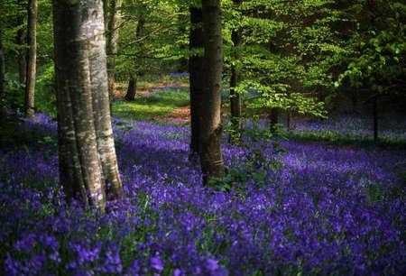 flor silvestre: Glen de Antrim, campanillas, bosque de Portglenone, Irlanda