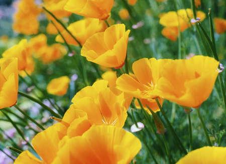 flor silvestre: Jard�n de flores, Poppy alpino  LANG_EVOIMAGES