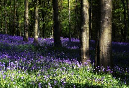 flor silvestre: Glen de Antrim, facelia madera, bosque de Portglenone, Irlanda