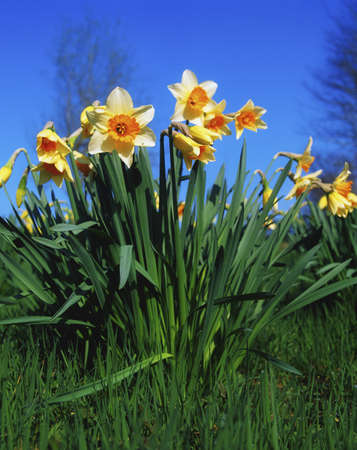 narcissus: Close-up of daffodils in garden