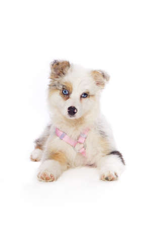 Australian Shepherd puppy Stock Photo - 7559228