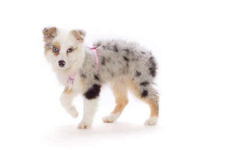 Australian Shepherd puppy Stock Photo - 7559229