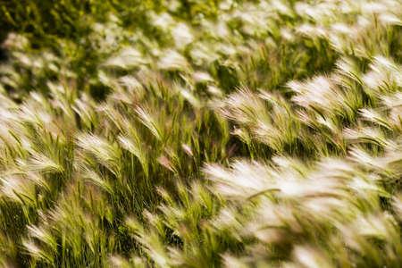 Foxtail barley Reklamní fotografie