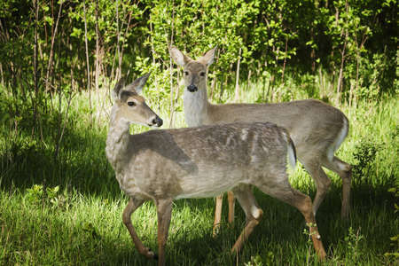 animal watching: Two deer in the woods