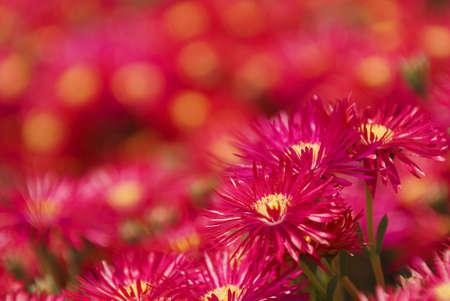 Crimson bloemen met gele centra