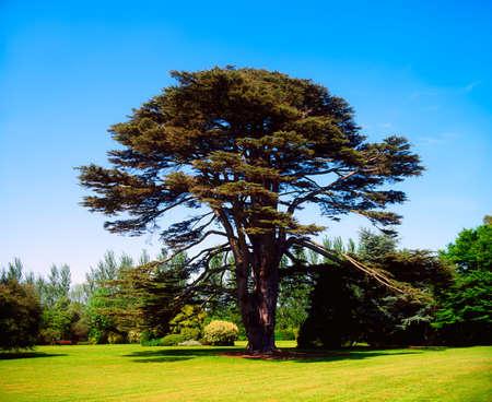 cedro: L�bano cedro, Malahide Irlanda, co de Dubl�n, Irlanda