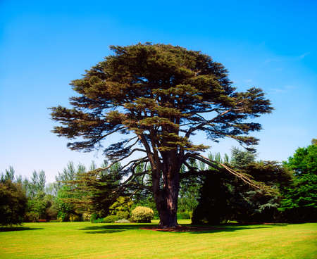 co  meath: Lebanon cedar, Malahide Demesne, Co Dublin, Ireland
