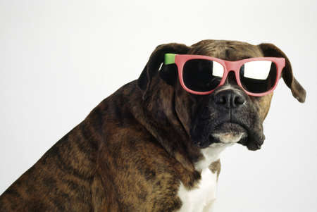 ron: Boxer wearing sunglasses