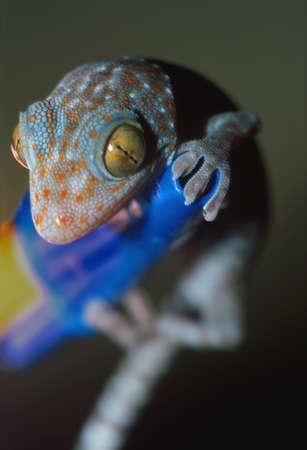 corey hochachka: Closeup of gecko