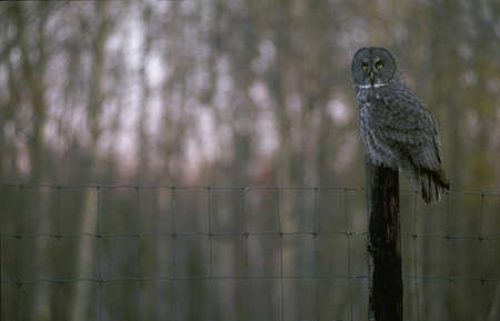 Owl on fencepost Stock Photo - 8243426